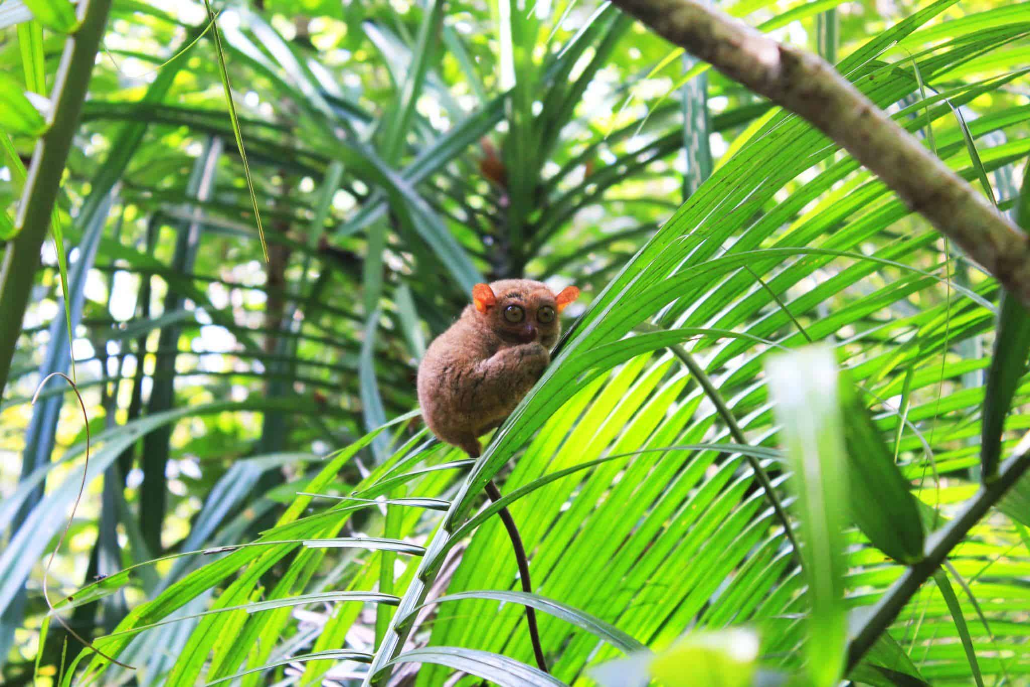 The Tarsier: The Cutest Animal You've Never Heard of