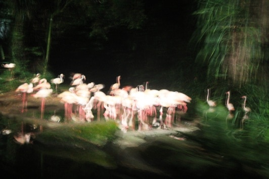 singapore night safari flamingos