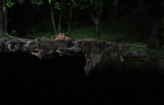 singapore night safari lion