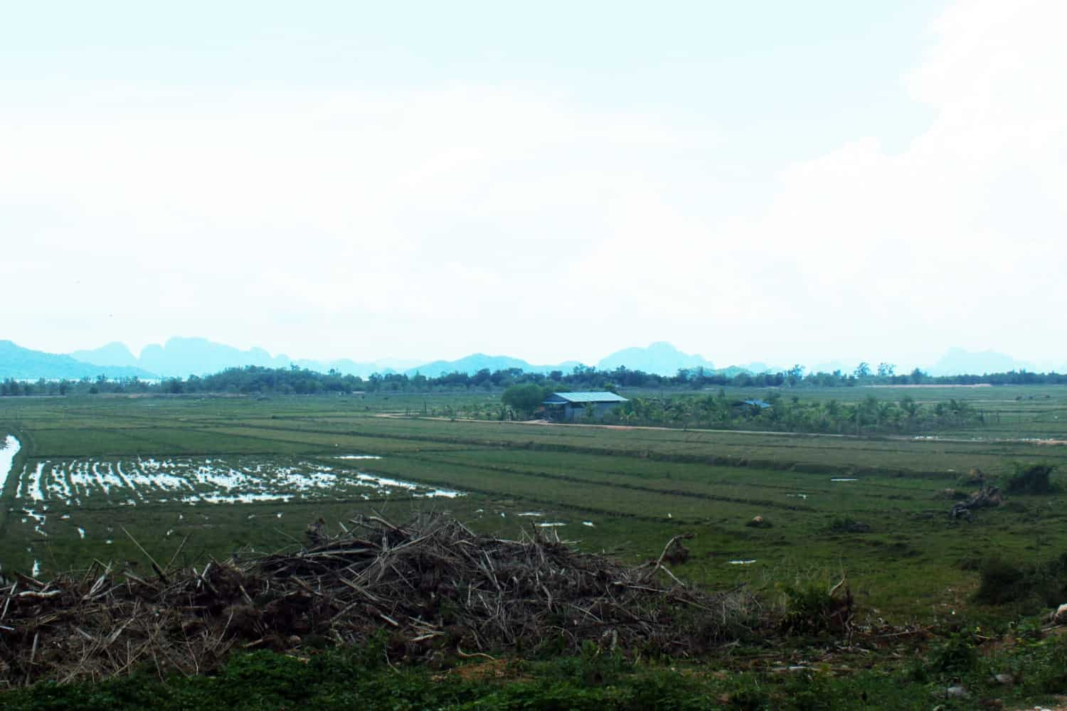 Rice paddies and buffalo