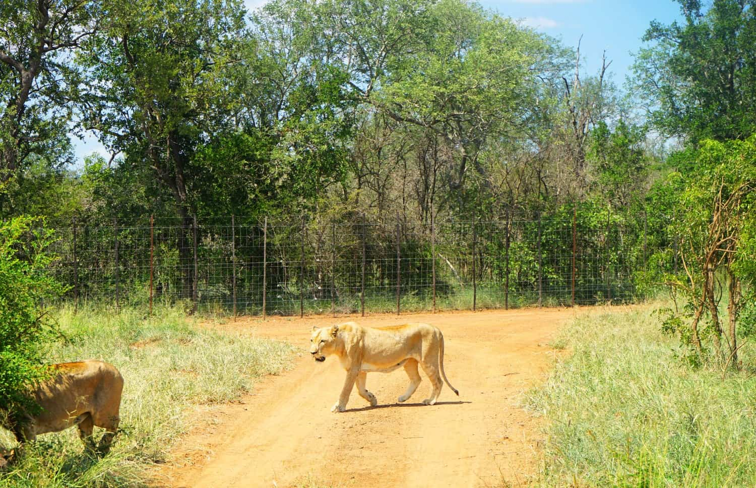 Lion at Hlane National Park