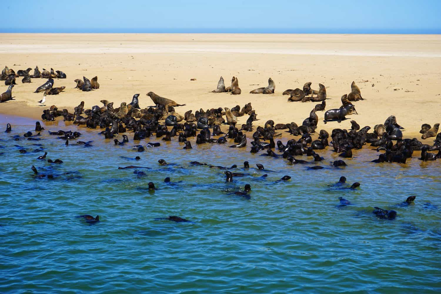 Seal colony at Walvis Bay