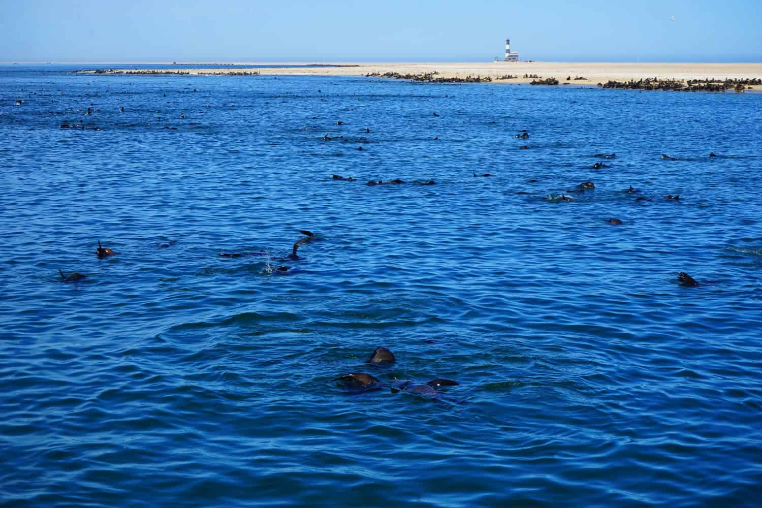 Seals in Walvis Bay