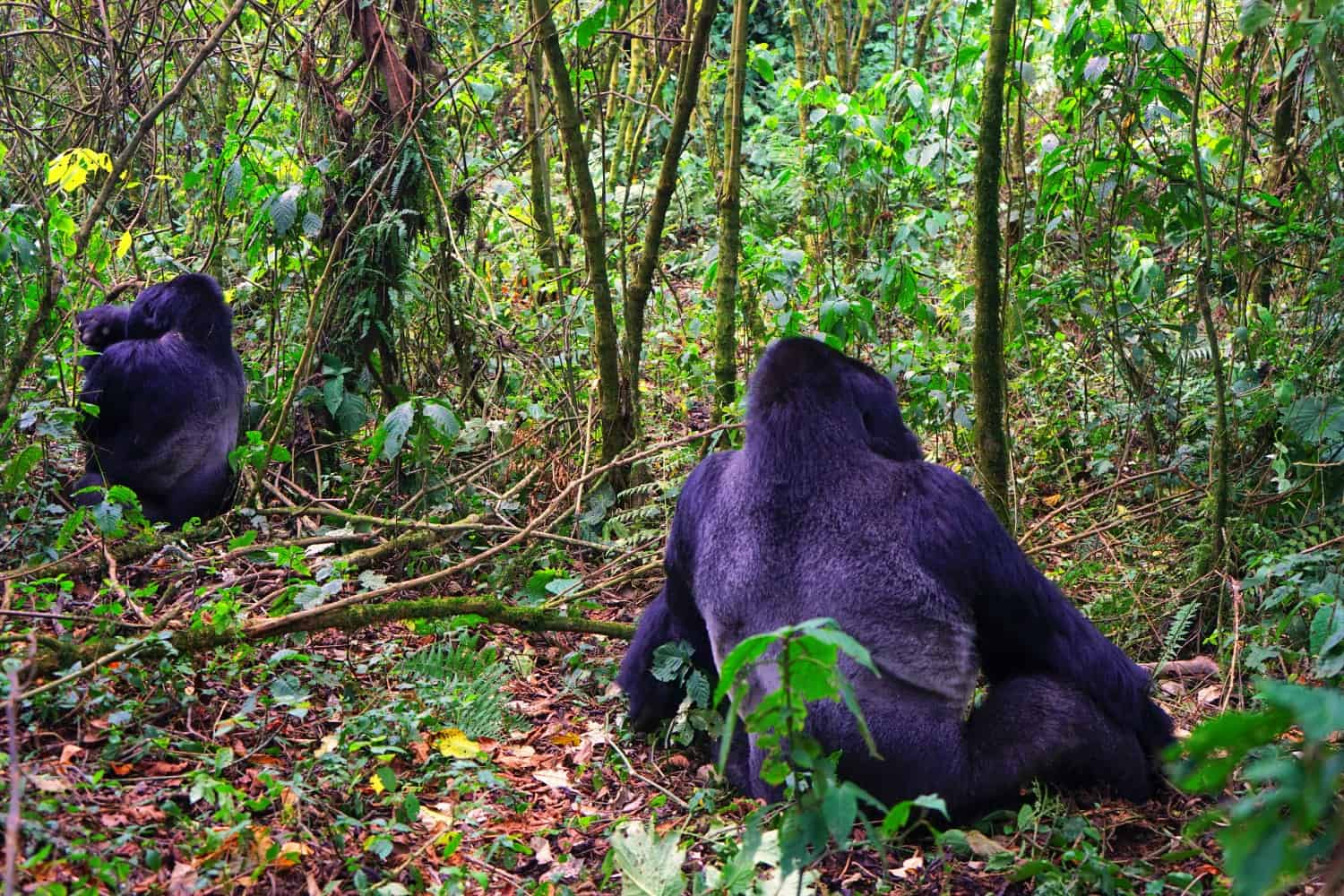 Sulking gorillas in the DRC