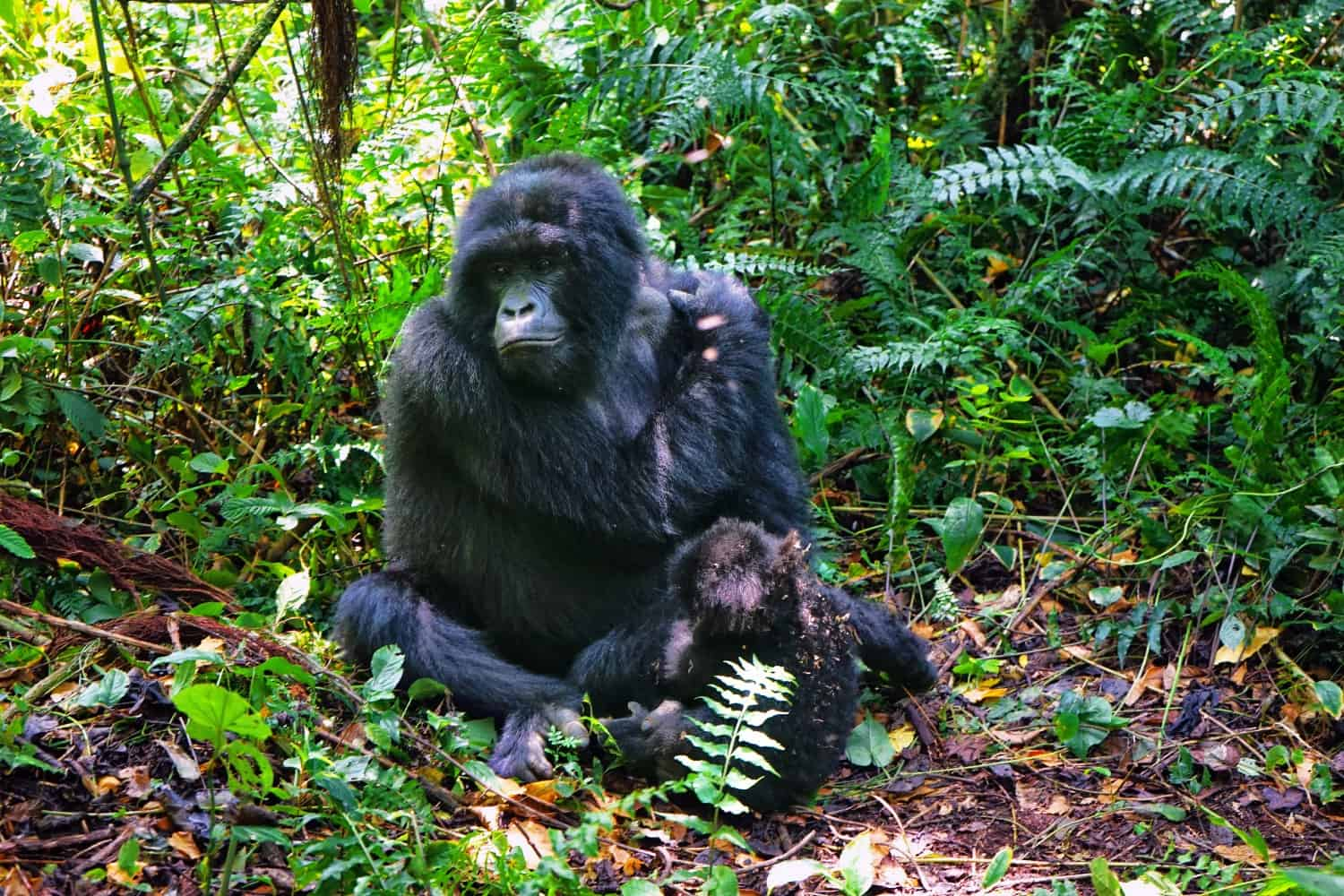 Gorilla and baby in Virunga National Park