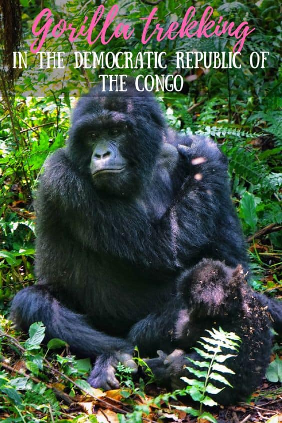 You wouldn't expect the Congo to be home to the most efficient national park in the world, but I'm calling it: that's exactly what Virunga is. Read all about gorilla trekking in the Democratic Republic of the Congo!