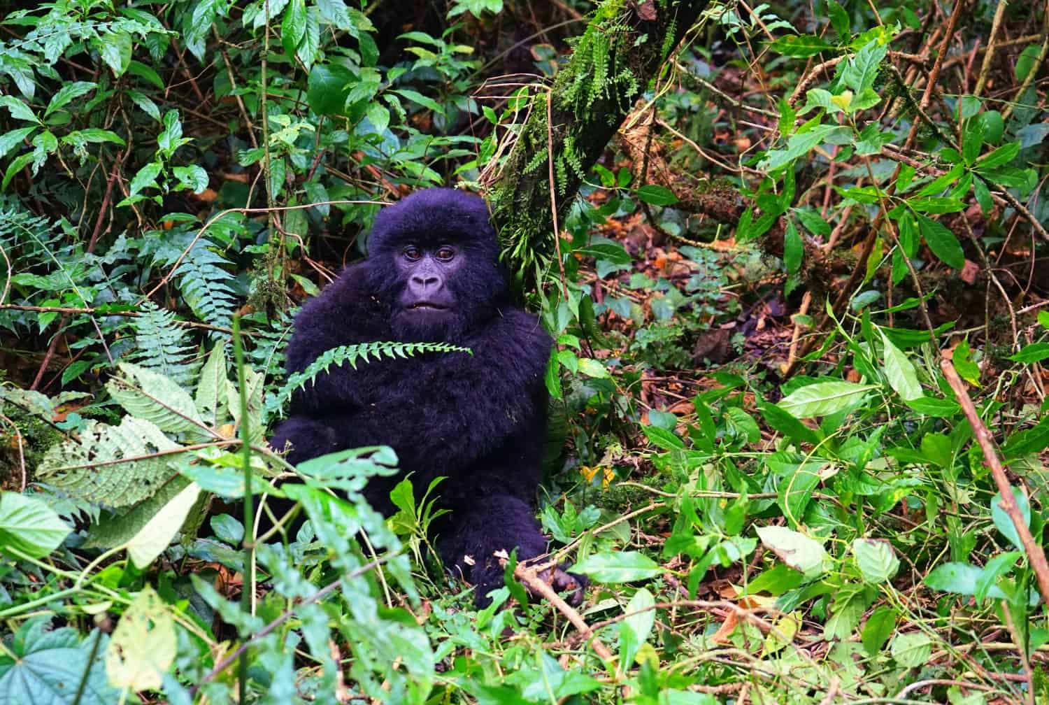 Mountain gorilla in Virunga in the DRC