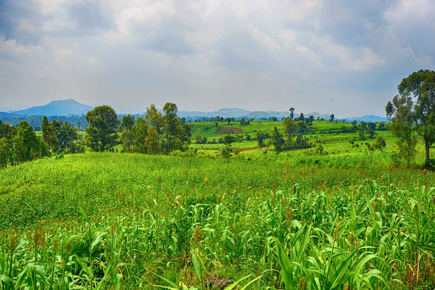 Virunga National Park cornfields