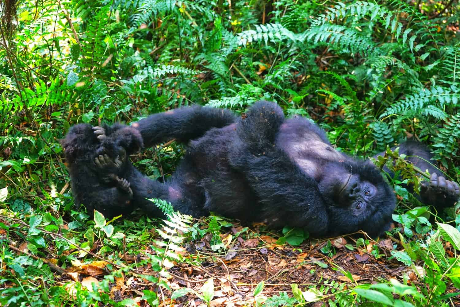 Wild mountain gorillas in Virunga National Park