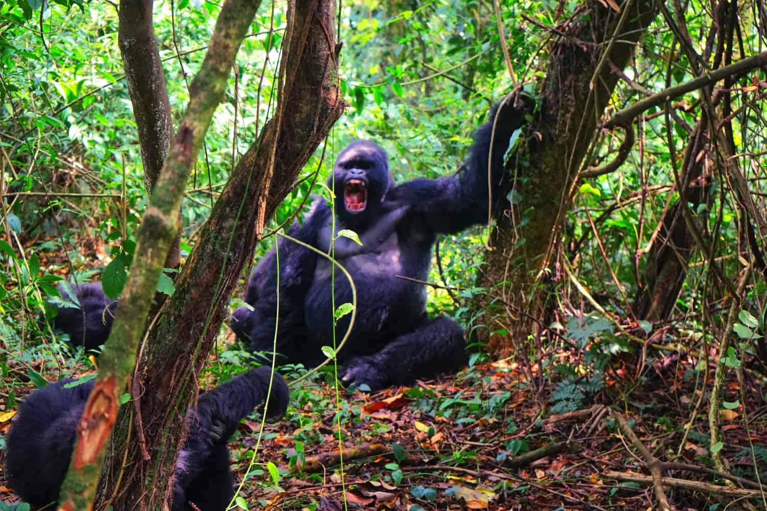 Yawning mountain gorilla in the DRC