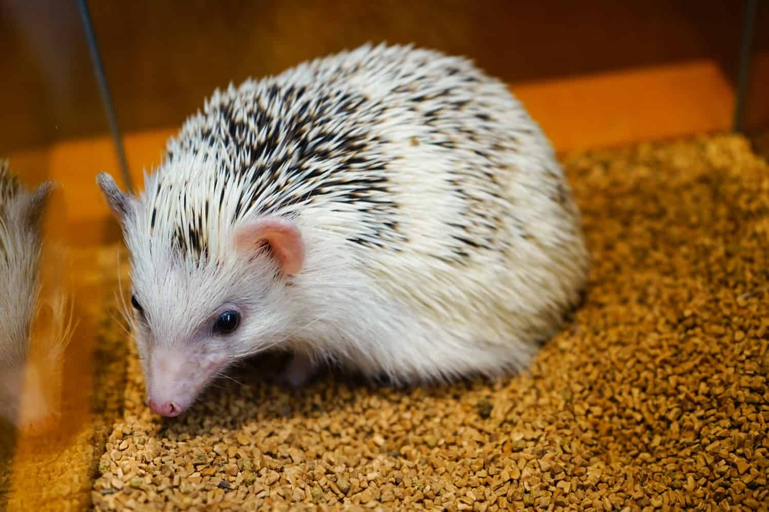 hedgehog cafe japan