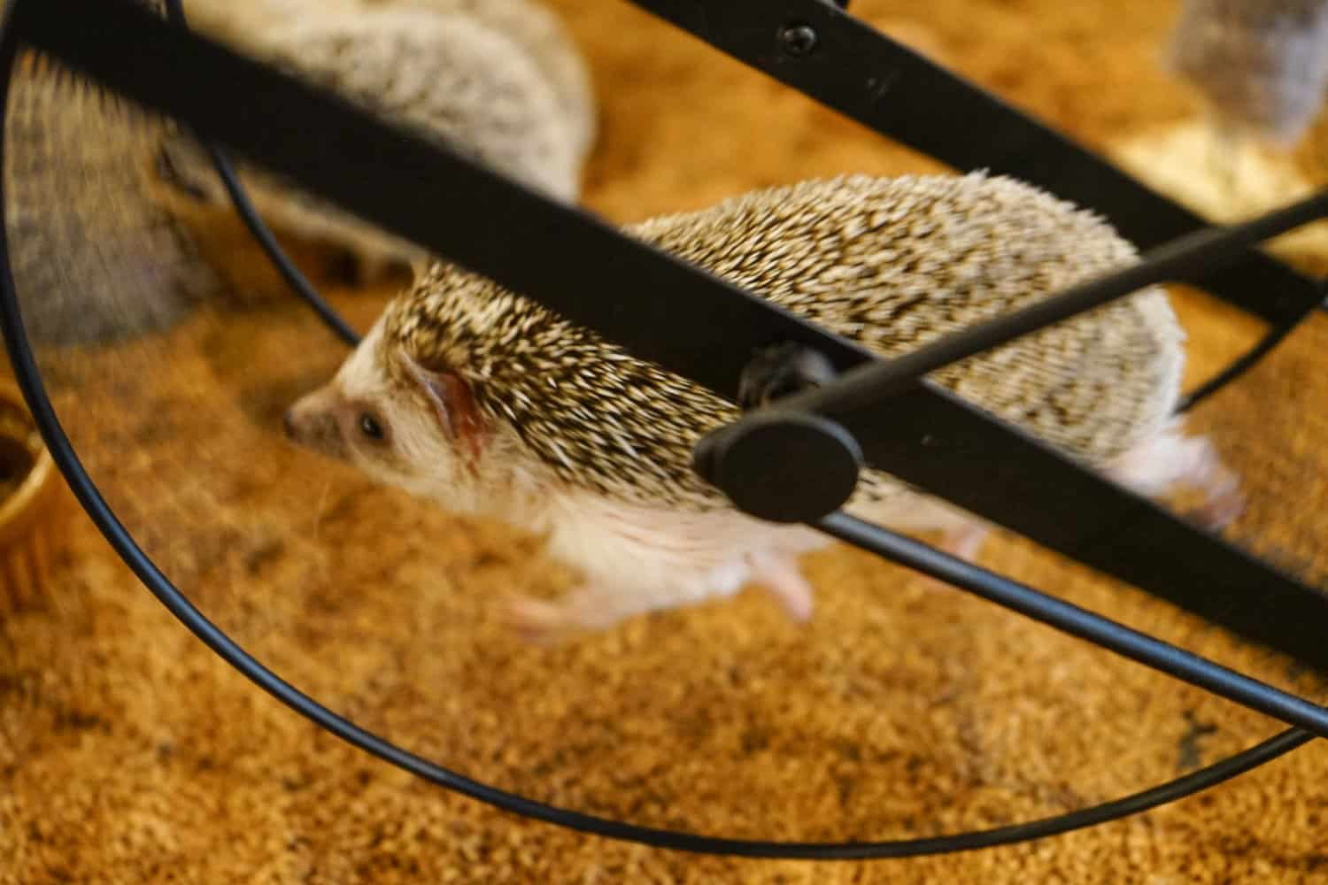 hedgehog running on a wheel